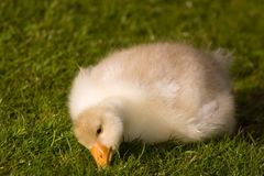 Cute fluffy gosling Royalty Free Stock Image