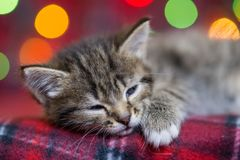 Cute fluffy gray kitten with dark stripes sleeping. On a red plaid against the backdrop of multicolored Christmas lights Royalty Free Stock Images