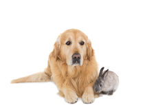 Cute fluffy grey bunny rabbit with golden retriever Royalty Free Stock Images