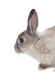 Cute fluffy grey bunny rabbit Royalty Free Stock Image
