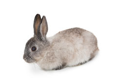 Cute fluffy grey bunny rabbit Stock Image