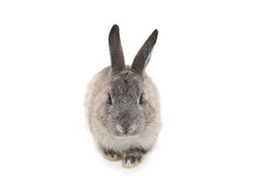 Cute fluffy grey bunny rabbit Royalty Free Stock Photography