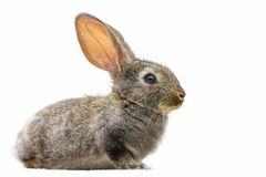 Cute fluffy grey rabbit on white isolated background stock photography