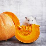 A fluffy hamster. A cute fluffy hamster is sitting near a cut piece of pumpkin. Funny animals royalty free stock photography