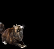 Cute fluffy kitten on a black background catches smth Royalty Free Stock Image