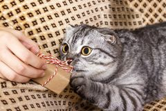 Cute fluffy kitten with gift on humans hands Stock Images