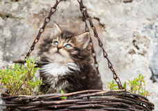 Cute fluffy kitten in a hanging basket Royalty Free Stock Photos