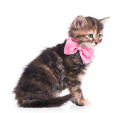 Cute fluffy kitten Stock Photography