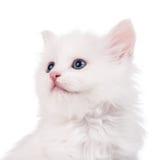 Cute fluffy kitten Stock Image