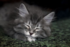 Cute fluffy kitten sleeps on soft carpet Royalty Free Stock Photos