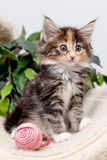 Cute fluffy kitten with toy. Charming fluffy kitten with red cats toy Stock Photography