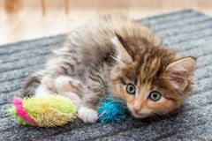 Cute fluffy kitten with toy. Сharming fluffy kitten with  cat's toy Royalty Free Stock Images