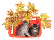 Cute fluffy kittens Royalty Free Stock Images