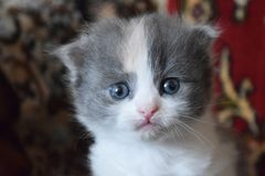 Cut baby kitten playing. Cute fluffy kittens at home looking at the host stock photos
