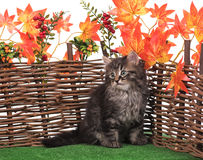 Cute fluffy kittens Stock Photography
