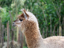 The cute fluffy lama close up portrait. The cute beige fluffy lama close up portrait Royalty Free Stock Image