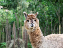 The cute fluffy lama close up portrait Stock Images