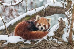 Cute fluffy lesser panda in winter forest royalty free stock photography
