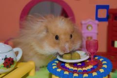 Cute fluffy light brown hamster eats peas at the table in his house. Pet eats with his hands royalty free stock images