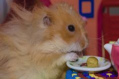 Cute fluffy light brown hamster eats pes at the table in his house. royalty free stock photo