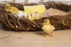 Cute fluffy little Easter ducklings and chickens are walking near the nest.  royalty free stock photo