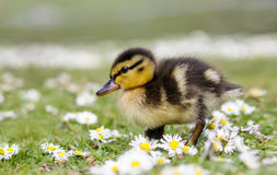 Cute fluffy Mallard duckling Anas platyrhynchos in daisies. Cute fluffy Mallard duckling Anas platyrhynchos wondering through spring daisies Stock Photo