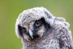 Cute fluffy owlet Royalty Free Stock Image