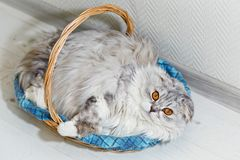 Gray flap eared cat lies in a sleeping basket royalty free stock photography