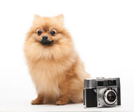 Cute fluffy pomeranian spitz with old camera Royalty Free Stock Image