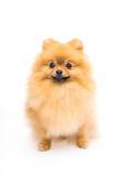 Cute fluffy pomeranian spitz Royalty Free Stock Photography