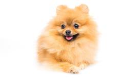 Cute fluffy pomeranian spitz Royalty Free Stock Image