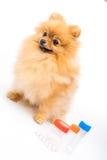 Cute fluffy pomeranian spitz Stock Images
