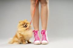 Cute fluffy pomeranian spitz Stock Image