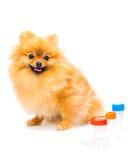 Cute fluffy pomeranian spitz Stock Photography