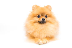Cute fluffy pomeranian spitz. On white background royalty free stock images