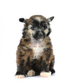 Cute fluffy puppy sitting isolated on white Royalty Free Stock Photography