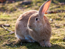 Cute and fluffy rabbit Stock Image