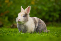 Cute Fluffy Rabbit on Green Grass Stock Photography