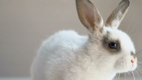 Cute fluffy rabbit sitting on table, animal rights protection campaign, humanity