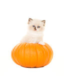 Cute fluffy rag doll baby cat in a pumpkin Stock Images