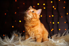 Cute Fluffy Red Kitten. A cute fluffy red kitten against fairy lights background royalty free stock image
