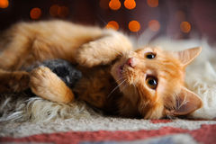 Cute Fluffy Red Kitten Playing with Toy Mouse Royalty Free Stock Images