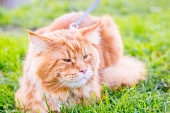 Cute Fluffy Red Maine Coon Cat resting in the Park, Autumn Background Stock Image