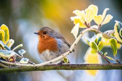 Cute fluffy red robin bird on a tree branch. Cute fluffy red robin bird perched on a tree branch royalty free stock photos