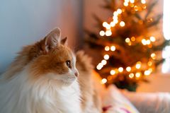 Cute fluffy red and white cat on Christmas tree background. Decorating Natural Danish spruce at home. Winter holidays in. A house interior. Light garlands royalty free stock photos