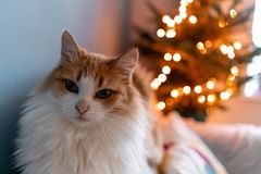 Cute fluffy red and white cat on Christmas tree background. Decorating Natural Danish spruce at home. Winter holidays in. A house interior. Light garlands royalty free stock photo