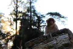 Cute fluffy serious macaque monkey on stone fence in himalayan mountain jungle forest. Wildlife landscape. Sunshine in highland forest Stock Photos