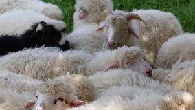 Cute fluffy sheep graze in the meadow on a sunny day. large flock or herd of sheep on outback station or ranch stock footage