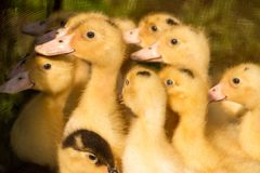 Cute fluffy small duck newborns, group of ducks babies. Looking on side Royalty Free Stock Image