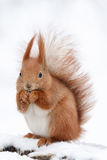Cute fluffy squirrel eating nuts on a white snow in the winter forest. Royalty Free Stock Image